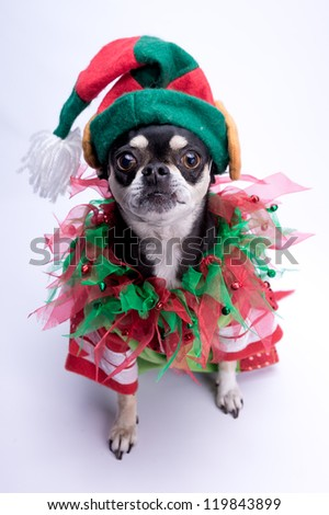 Cute chihuahua dressed as Christmas elf with hat and bows. Isolated on white background