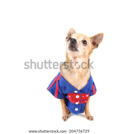 cute chihuahua dressed up in a costume - stock photo