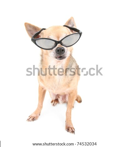 cute chihuahua dressed up in glasses - stock photo