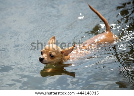 Cute Chihuahua floats in water - stock photo