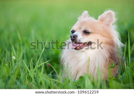 Cute Chihuahua in green grass on a summer day - stock photo