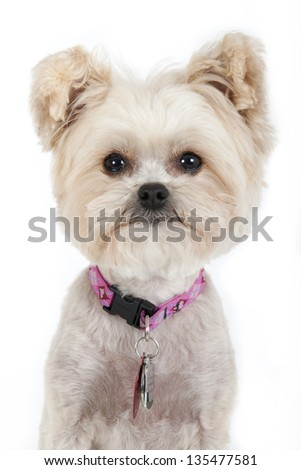 Cute Chihuahua looking at camera, shot on white background