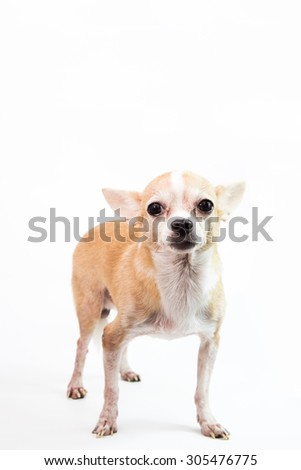 Cute Chihuahua on White Background
