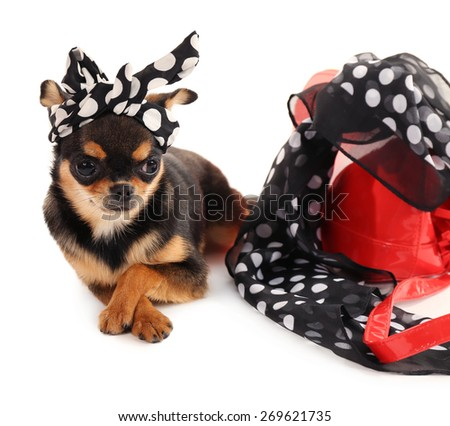 Cute chihuahua puppy in color dots kerchief near female  bag isolated on white - stock photo