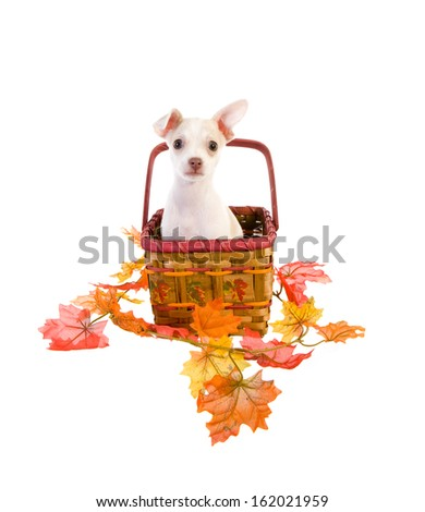 Cute Chihuahua Puppy in fall basket surrounded by orange and red autumn leaves isolated on white background - stock photo