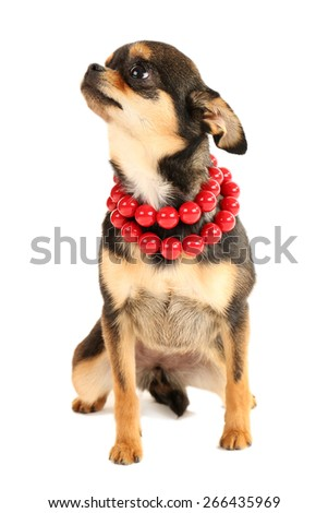 Cute chihuahua puppy in red beads isolated on white - stock photo