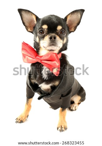 Cute chihuahua puppy in red bow tie isolated on white
