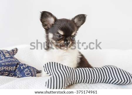 Cute chihuahua puppy lying on bed with blue pillow.