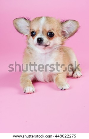 Cute Chihuahua puppy on a pink background