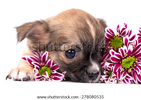 cute chihuahua puppy portrait with pink chrysanthemums flowers close-up on white background  - stock photo