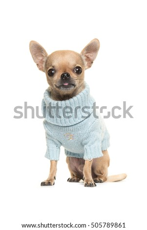 Cute chihuahua puppy sitting and facing the camera wearing a blue knitted sweater isolated on a white background