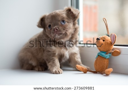 Cute chihuahua puppy sitting on the windowsill with toy.  - stock photo