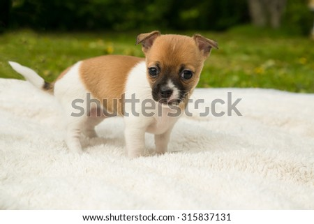 cute chihuahua puppy standing on a blanket in the green grass - stock photo