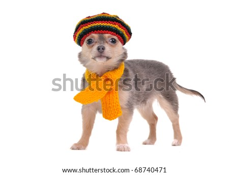 Cute chihuahua puppy standing with Rastafarian hat and yellow scarf - stock photo
