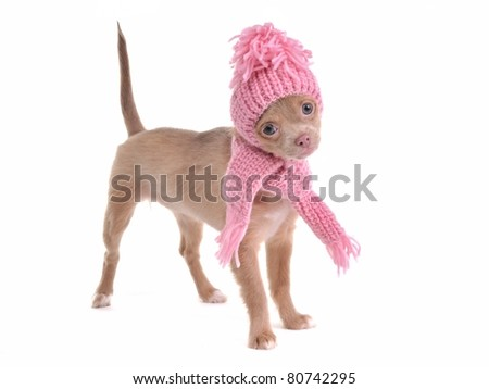 Cute chihuahua puppy wearing hat and scarf standing, isolated on white background - stock photo