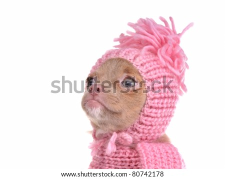 Cute chihuahua puppy wearing pink hat portrait, isolated on white background - stock photo