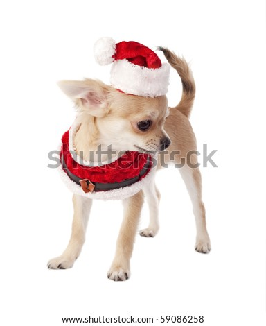 cute Chihuahua puppy wearing Santa costume isolated