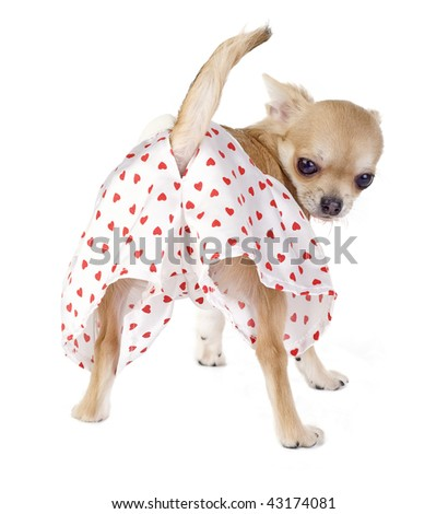 cute chihuahua puppy with funny panties isolated on white background