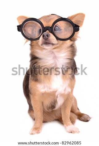 Cute chihuahua puppy with high diopter thick glasses, isolated on white background - stock photo