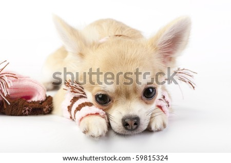 cute chihuahua puppy with striped socks and hat lying down on white background close-up - stock photo