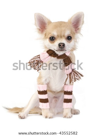 cute chihuahua puppy with striped socks and scarf isolated on white background - stock photo