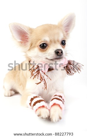 cute chihuahua puppy with striped socks and scarf on white background - stock photo
