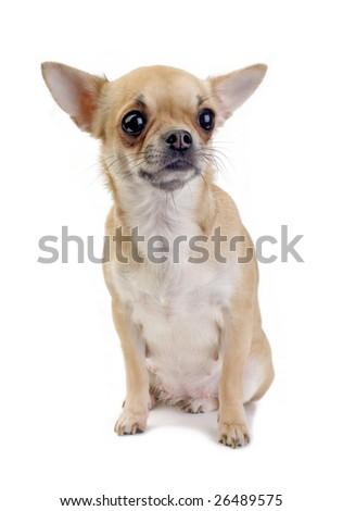 cute Chihuahua sitting isolated