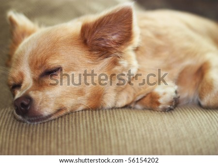 Cute chihuahua sleeping on couch. - stock photo