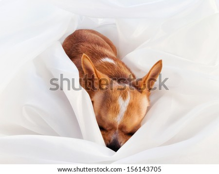 Cute chihuahua sleeping on white sheet. Small dog tired after walking. Alone home. Friendly mini dog. - stock photo