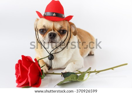 Cute Chihuahua wearing a red cowboy hat with red rose Sitting on a white background.