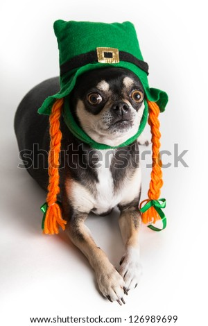 Cute chihuahua with green Irish leprechaun hat with orange braids on white background with soft shadow
