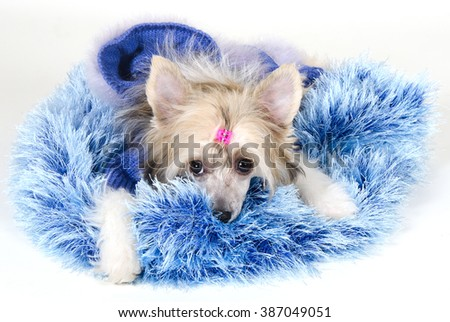 Cute Chinese Crested dog (Powderpuff variety, puppy) lying on a blue fur rug - stock photo