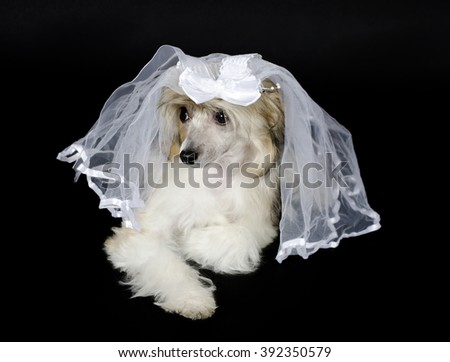 Cute Chinese Crested dog (Powderpuff variety) wearing a bridal veil, isolated on black - stock photo