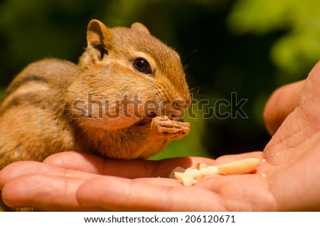 Cute chipmunk feeding from a person's hand - stock photo