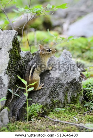 Cute chipmunk on a rock near the burrow opening