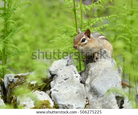 Cute chipmunk surrounded by bright green ferns in the Spring