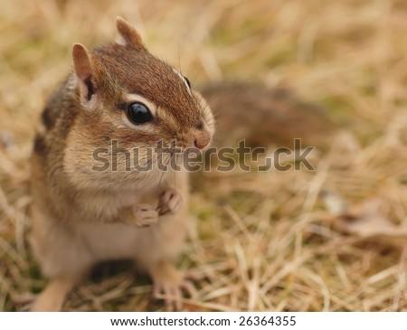 cute chipmunk with full cheeks - stock photo