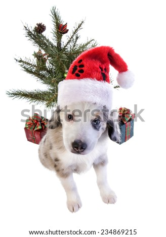 Cute Christmas Australian Shepherd puppy wearing santa hat under Christmas tree,with gifts isolated on white background