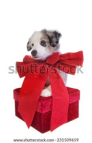Cute Christmas Australian Shepherd puppy with big red bow around neck on red gift isolated on white background - stock photo