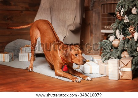 Cute Christmas dog. Card. Rhodesian ridgeback hound dog. New Year pet