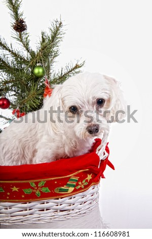 Cute Christmas Maltese dog in basket under christmas tree isolated on white background