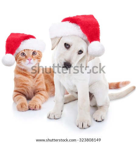 Cute Christmas pet Labrador puppy dog and Xmas animal kitten cat in Santa hats on white - stock photo