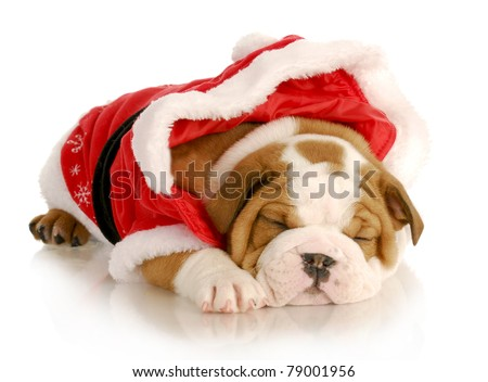 cute christmas puppy - english bulldog wearing santa suit on white background - stock photo