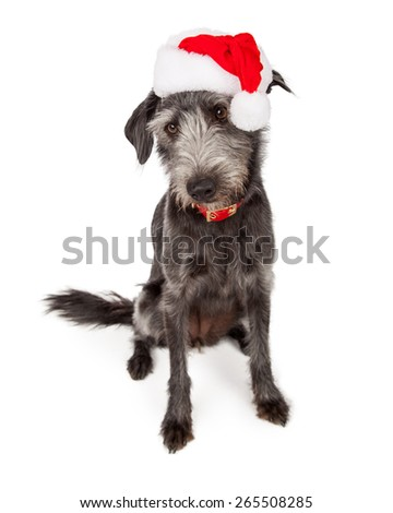 Cute Christmas Santa terrier crossbreed dog looking down - stock photo