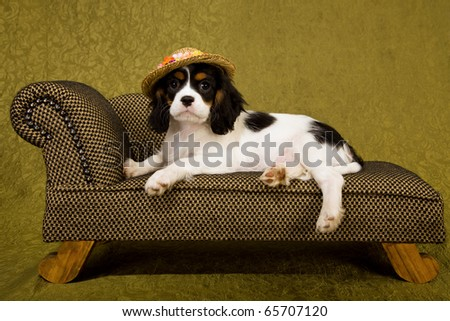 Cute CKC puppy with hat on sofa couch chaise - stock photo