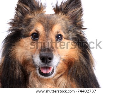 Cute closeup portrait of a shetland sheepdog otherwise known as a Sheltie, with copyspace on a white background - stock photo