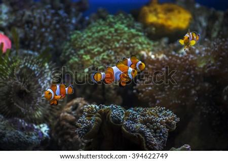 Cute clown fish - stock photo