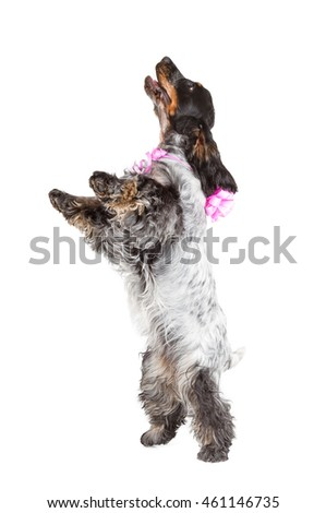cute cocker spaniel jumping isolated on white