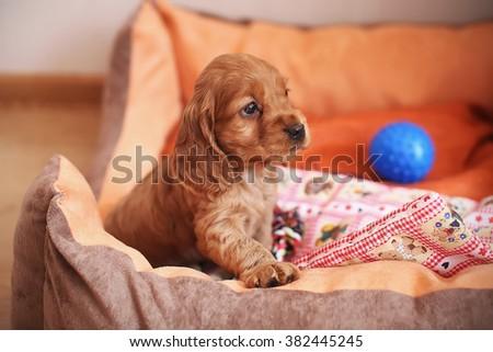 Cute cocker spaniel puppy - stock photo