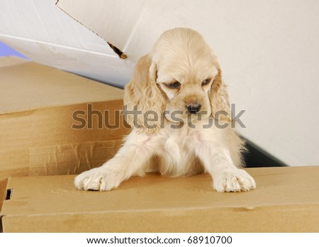 cute cocker spaniel puppy climbing in cardboard boxes - stock photo